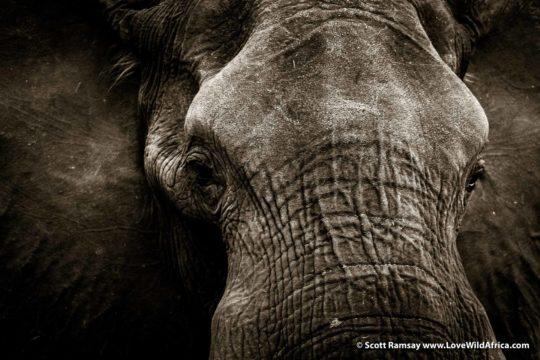 Elephant wisdom - Zambezi Region - Namibia
