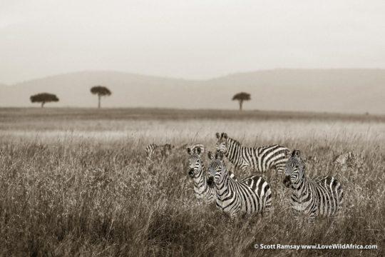 Zebras - Maasai Mara - Kenya