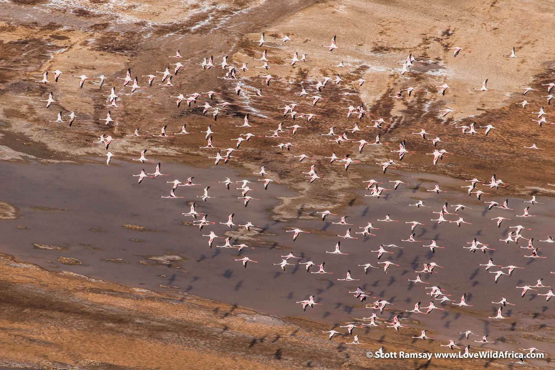 Flying over the southern end of Lake Logipi, we came across our first flamingos...the contrast between these beautiful birds and the harsh landscape is bizarre. But what a sight!