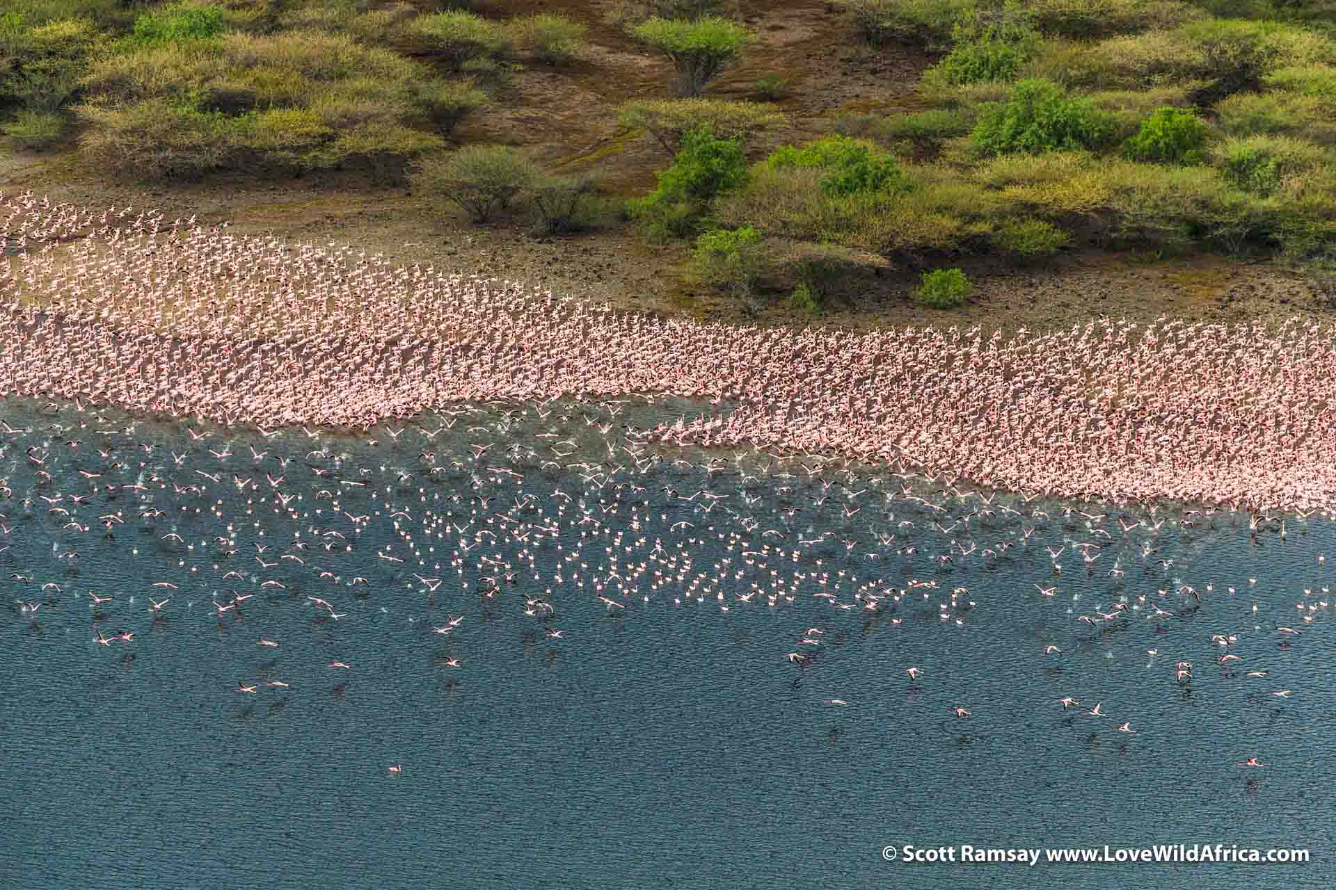 Closer up to the lesser flamingos...Lake Bogoria is a key locality for the species, along with Lake Natron in Tanzania. The mass groupings of flamingos provides important advantages...including the calming of waters in the centre of the group, making feeding on the algae easier.