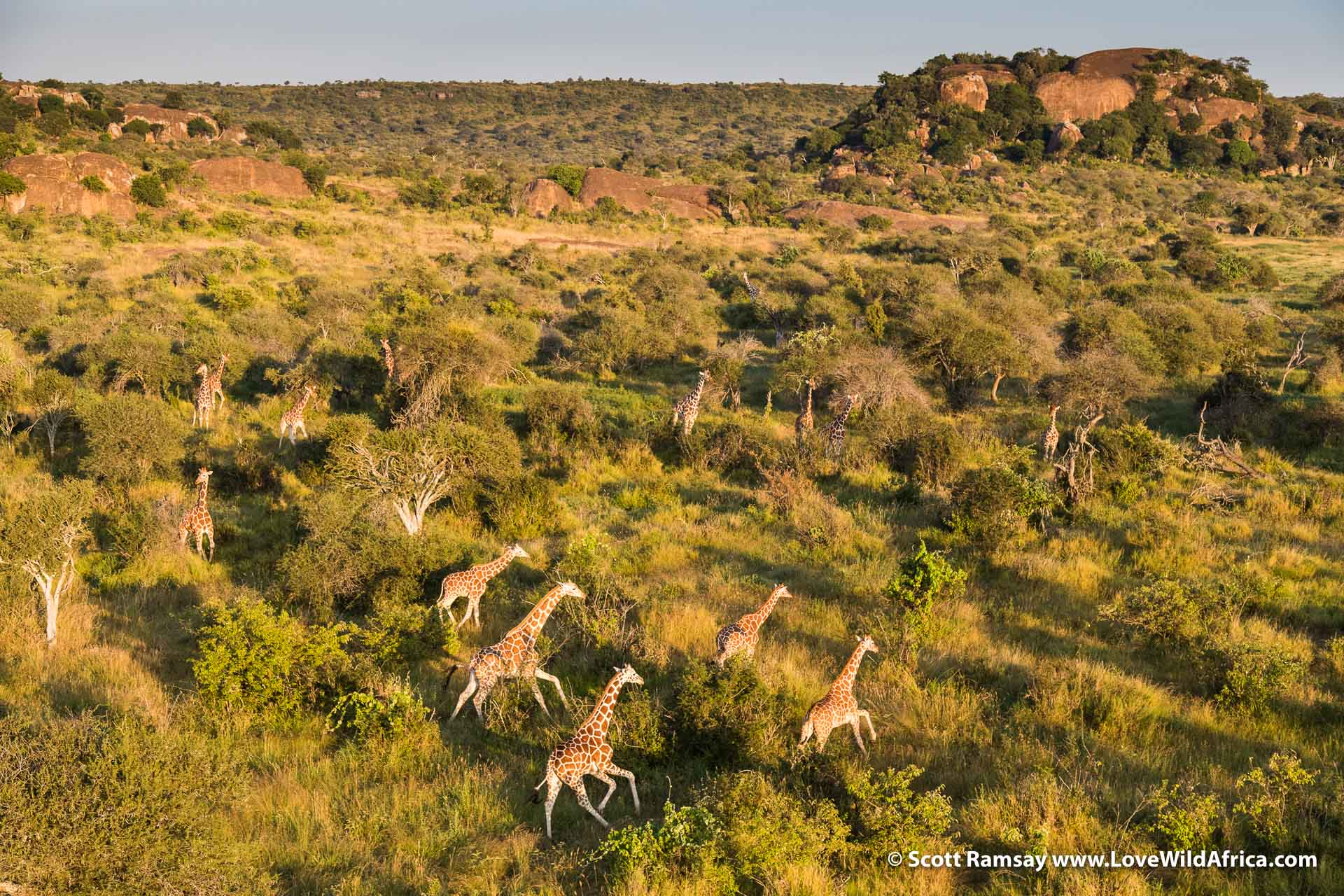 Reticulated giraffes, photographed from the chopper
