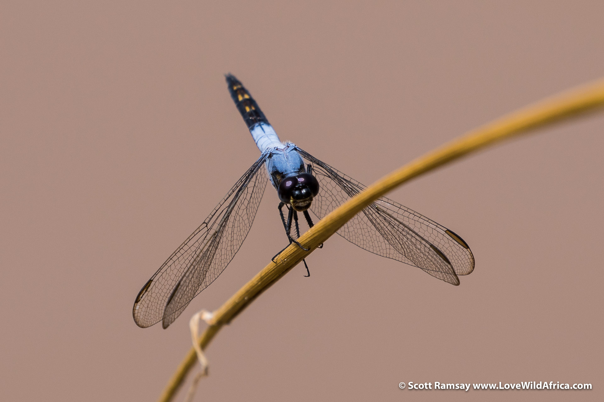 The benefits of having more freedom on safari is being able to notice the small wonders...like this dragonfly alongside the Ewaso Ngiro River