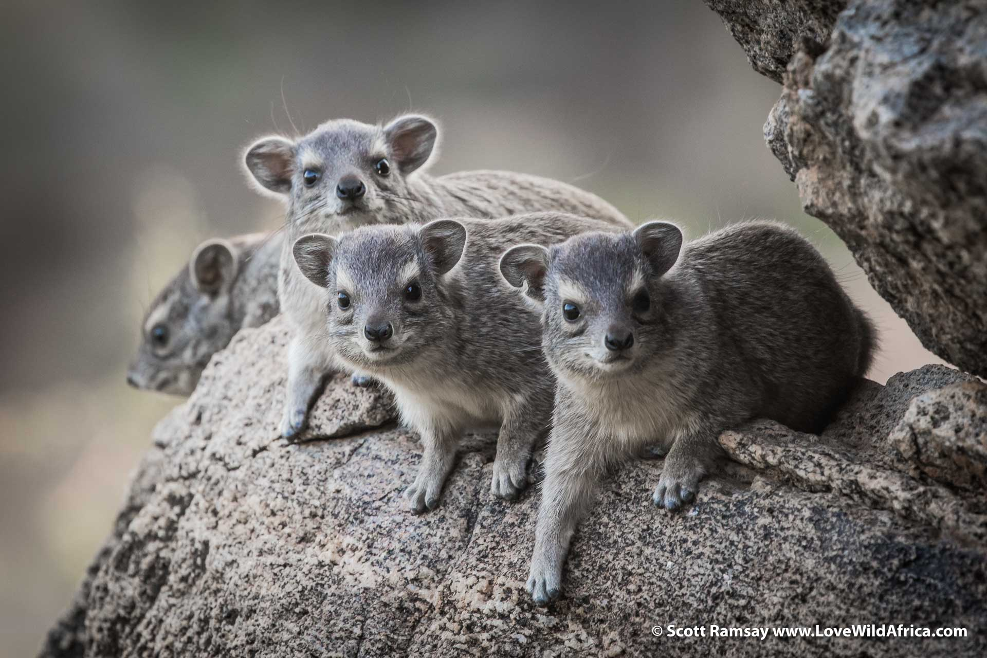 These are bush hyraxes…these particular fellas (or ladies) were checking me out near my room at Sasaab. This species (Heterohyrax brucei) seems cuter than the rock hyrax species (Procavia) which you also find in Kenya and Southern Africa.