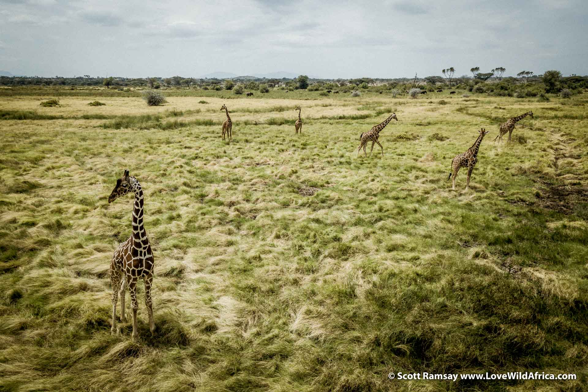 Reticulated giraffes, photographed from the air.